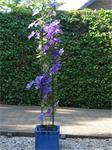 PLANTENSTEUNEN voor rozen clematis klimop jasmijn