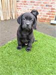 Prachtige zwarte labrador pups (ouders aanwezig)