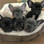 Standaard en gezonde Franse Bulldog-puppys