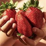 Aardbeien groot sortiment soorten.