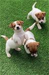 Mooie vacht 4 Jack Russell pups
