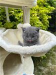 Amberkleurige ogen BSH/blauwe kittens