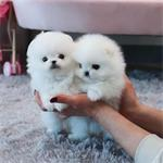Geboorte 6 Pommerse pups (2,5 kg)