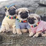 5 harige Mops-pups (12 weken)
