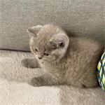britse korthaar kitten
