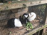 te koop konijnen (hollander)