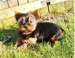 Lieve yorkshire pups bij echte hondenliefhebber