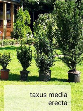 Grote foto planttijd taxus tuin en terras bloemen en planten