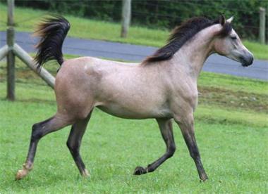 Grote foto echte arabische koningin merrie dieren en toebehoren paarden