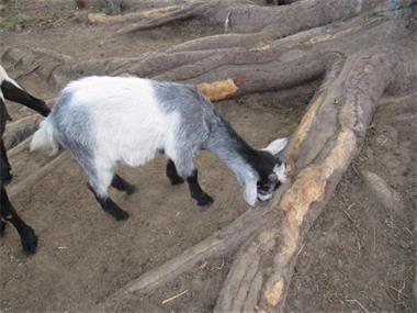 Grote foto twee jonge geitebokjes dieren en toebehoren schapen geiten en varkens