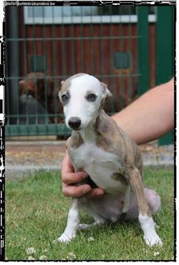 Grote foto italiaanse windhond pups dieren en toebehoren windhonden