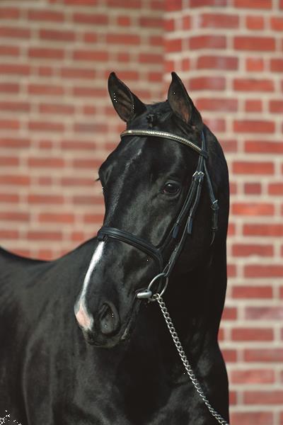 Grote foto absoluut mooie zwarte hanoveriaanse ruin dieren en toebehoren paarden