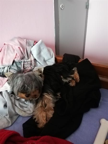 Grote foto yorkshire te koop dieren en toebehoren overige honden