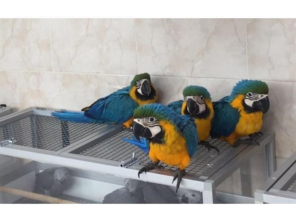 Grote foto 6 tot 7 maanden super tame blauwe en gouden dieren en toebehoren parkieten en papegaaien