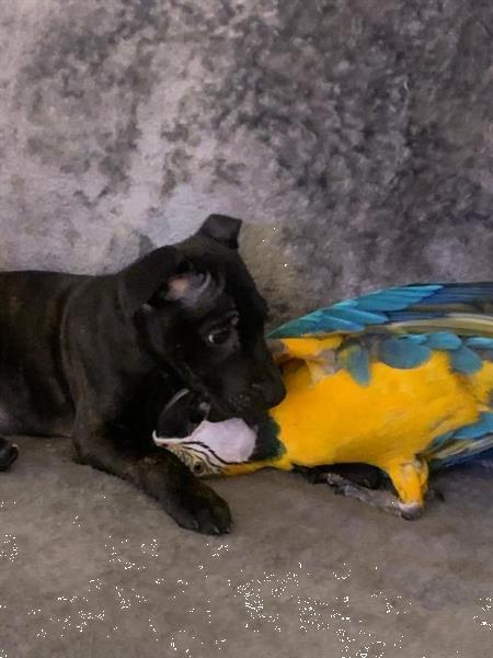 Grote foto spraakzaam 6 maanden blauwe gouden ara dieren en toebehoren parkieten en papegaaien