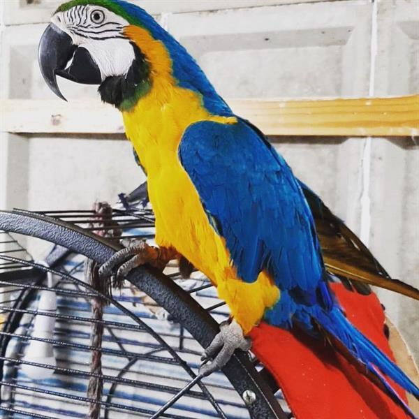 Grote foto 4 super super tamme blauwe en gouden kussen dieren en toebehoren parkieten en papegaaien