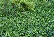 Grote foto klimop winterhard groot blad tuin en terras klimplanten
