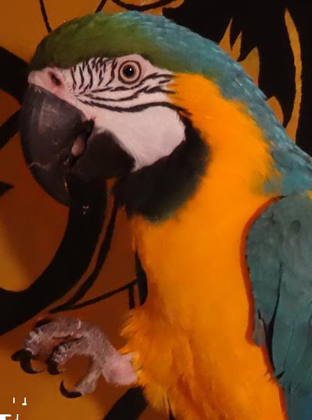 Grote foto handtamme blue gold macaw blauwgele ara dieren en toebehoren overige dieren