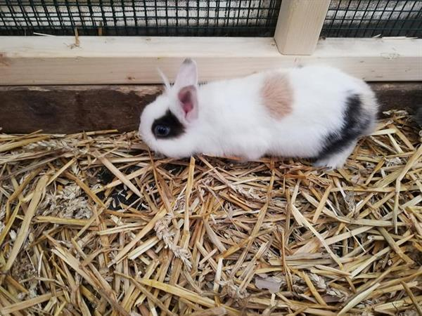 Grote foto dwergkonijntjes dieren en toebehoren konijnen