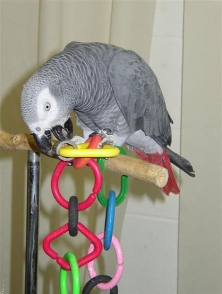 Grote foto grijze roodstaart papegaai vrouwtje dieren en toebehoren parkieten en papegaaien