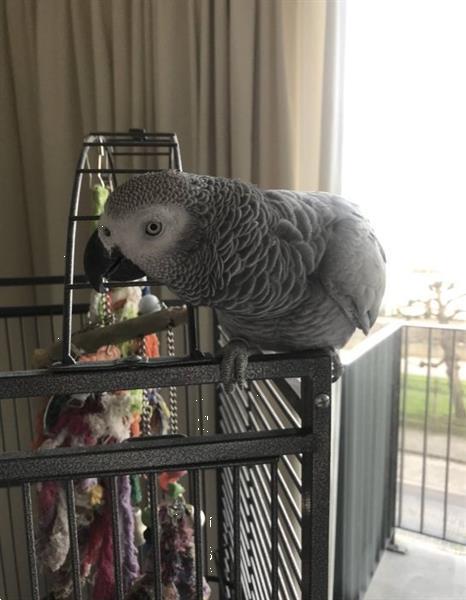 Grote foto grijze roodstaart papegaai dieren en toebehoren parkieten en papegaaien