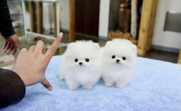 Grote foto dwergkees pups te reserveren spitz dwerg keesje dieren en toebehoren overige honden