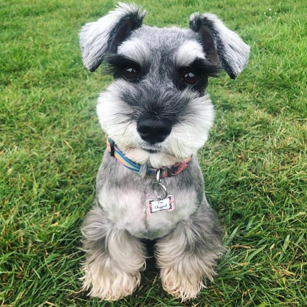 Grote foto dwergschnauzer pups dieren en toebehoren overige honden