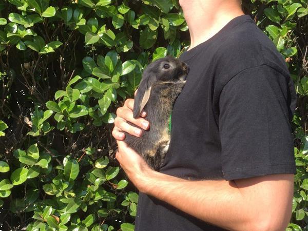 Grote foto nederlandse dwerghangoortjes dieren en toebehoren konijnen