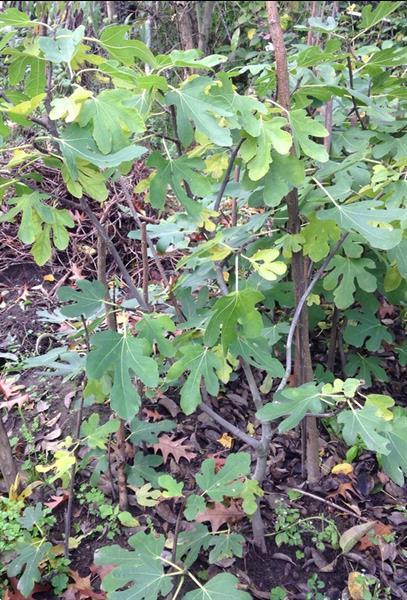 Grote foto vijgenboompjes ficus carica. tuin en terras fruitbomen
