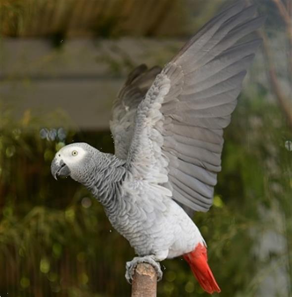 Grote foto roodstaart papegaai dieren en toebehoren parkieten en papegaaien