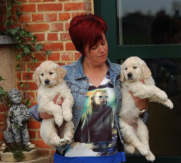 Grote foto golden retriever pups dieren en toebehoren retrievers spani ls en waterhonden