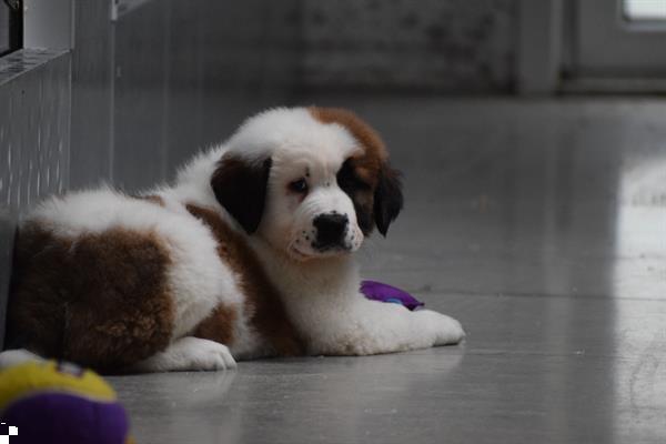 Grote foto sint bernard pups dieren en toebehoren bulldogs pinschers en molossers