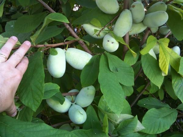 Grote foto kleinfruit in velen soorten nu aangeboden tuin en terras fruitbomen