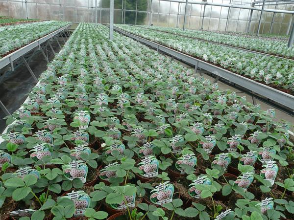 Grote foto aardbeien groot sortiment soorten. tuin en terras fruitplantjes