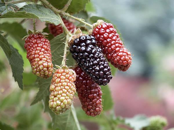 Grote foto bramen soorten met super grote vruchten tuin en terras fruitplantjes