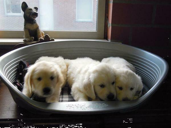 Grote foto mooie golden retriever pups. dieren en toebehoren retrievers spani ls en waterhonden