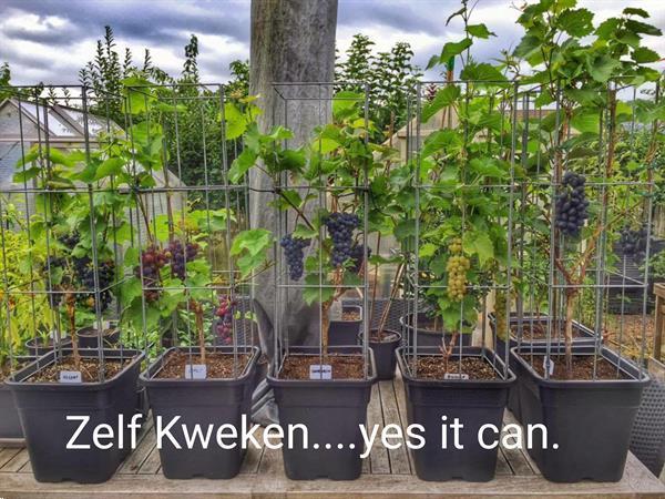 Grote foto zelf kweken tomaten tomaat tomatenplanten tuin en terras kassen en kweekspullen