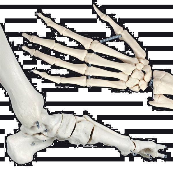 Grote foto prof levensgroot anatomiemodel skelet geraamte anatomie diversen overige diversen