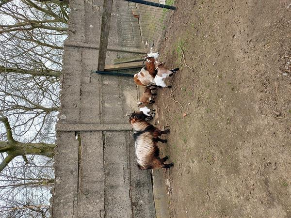 Grote foto koppel geiten lal dieren en toebehoren schapen geiten en varkens