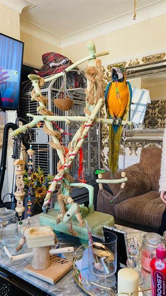 Grote foto 3 tieners blauw gouden ara dieren en toebehoren parkieten en papegaaien
