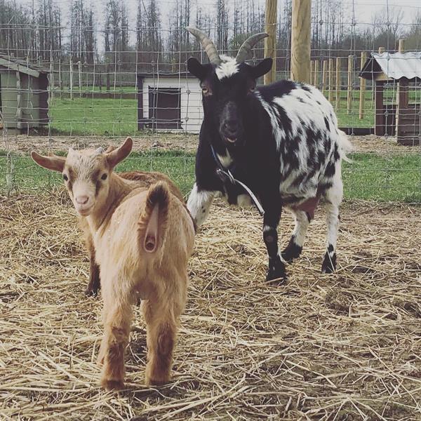 Grote foto bokje abrikoos kleur dieren en toebehoren schapen geiten en varkens