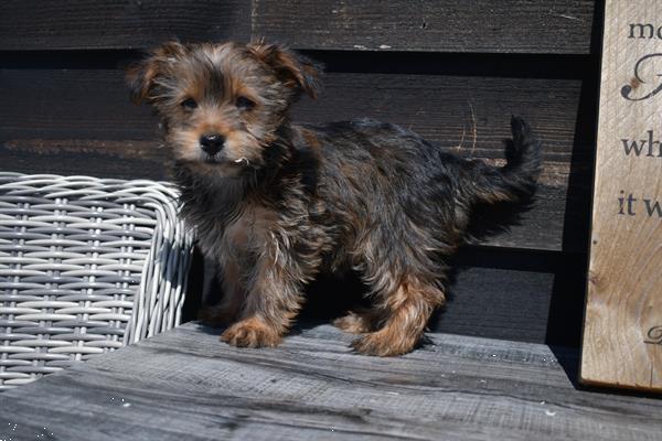 Grote foto york shire terrier pups dieren en toebehoren jack russells en terri rs
