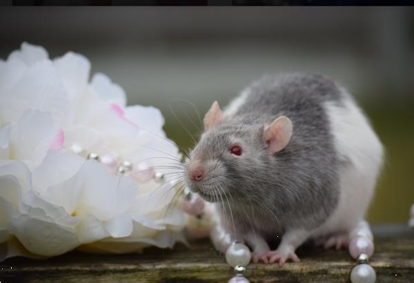 Grote foto rattery knabbelhoek tamme ratjes dieren en toebehoren knaagdieren
