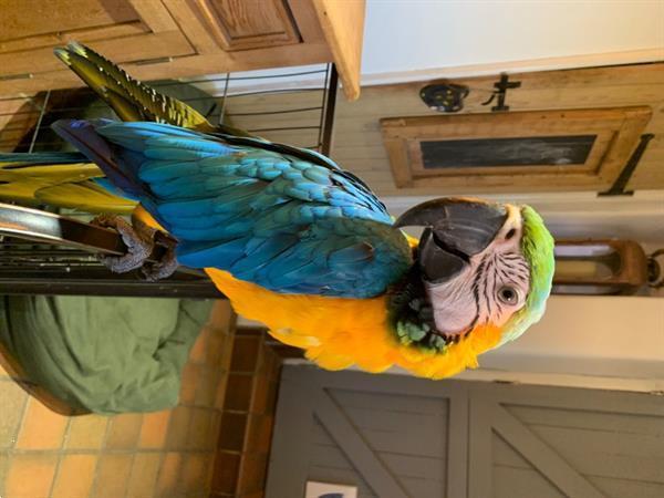 Grote foto 5 tamme blauw gouden ara. dieren en toebehoren parkieten en papegaaien