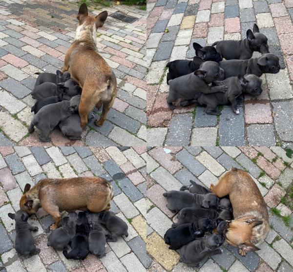 Grote foto mooie lieve en kerngezonde franse bulldog pups dieren en toebehoren bulldogs pinschers en molossers
