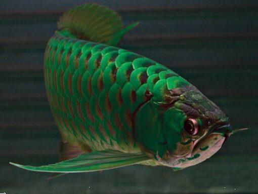 Grote foto beste kwaliteit arowana vis te koop tegen goede . dieren en toebehoren aquariumvissen