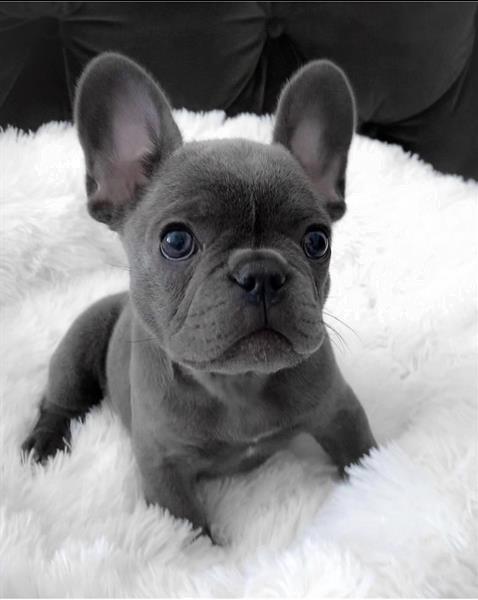 Grote foto prachtige franse bulldog pups in blauw dieren en toebehoren bulldogs pinschers en molossers