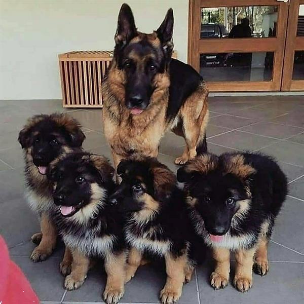 Grote foto speelse 6 duitse herder pups dieren en toebehoren herdershonden en veedrijvers