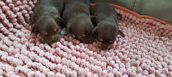 Grote foto chihuahua pups chocokleurig dieren en toebehoren chihuahua en gezelschapshonden