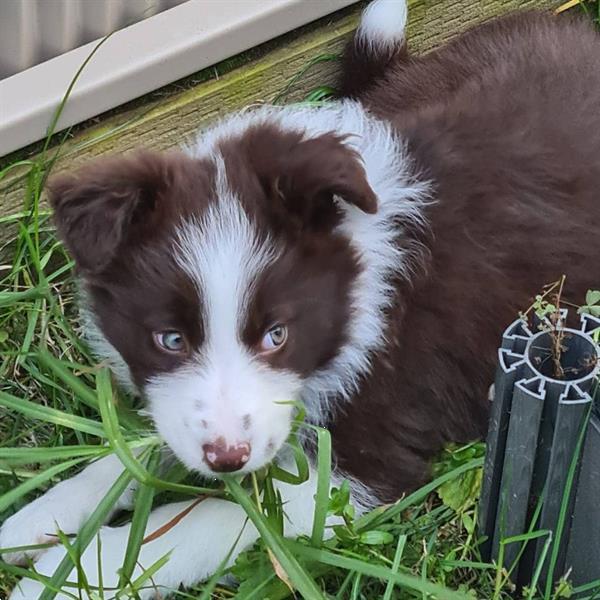 Grote foto border collies zwart witte merle dieren en toebehoren overige honden